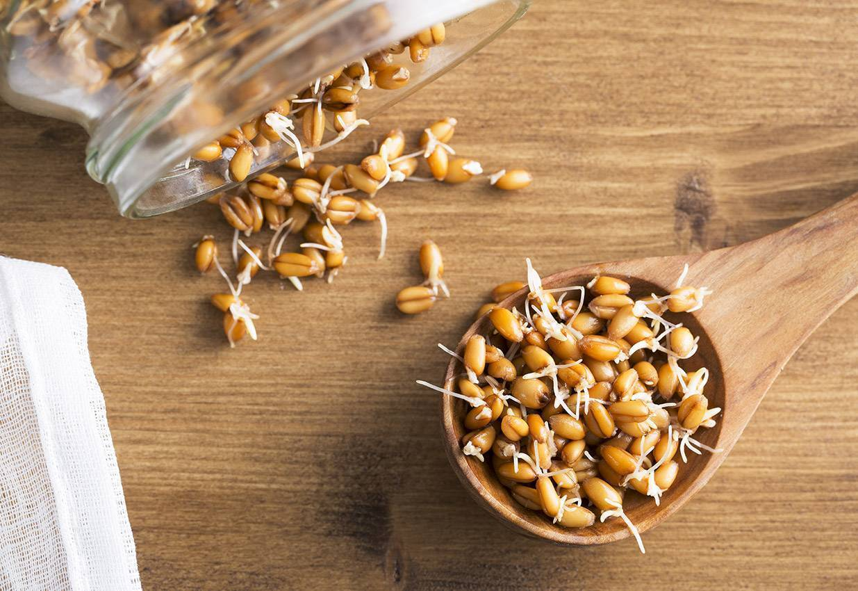 Как вырастить пшеницу в домашних условиях?