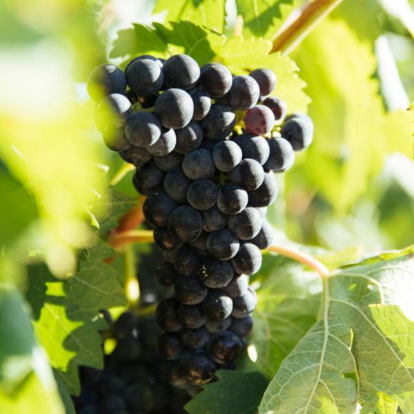 Гарнача сорт винограда