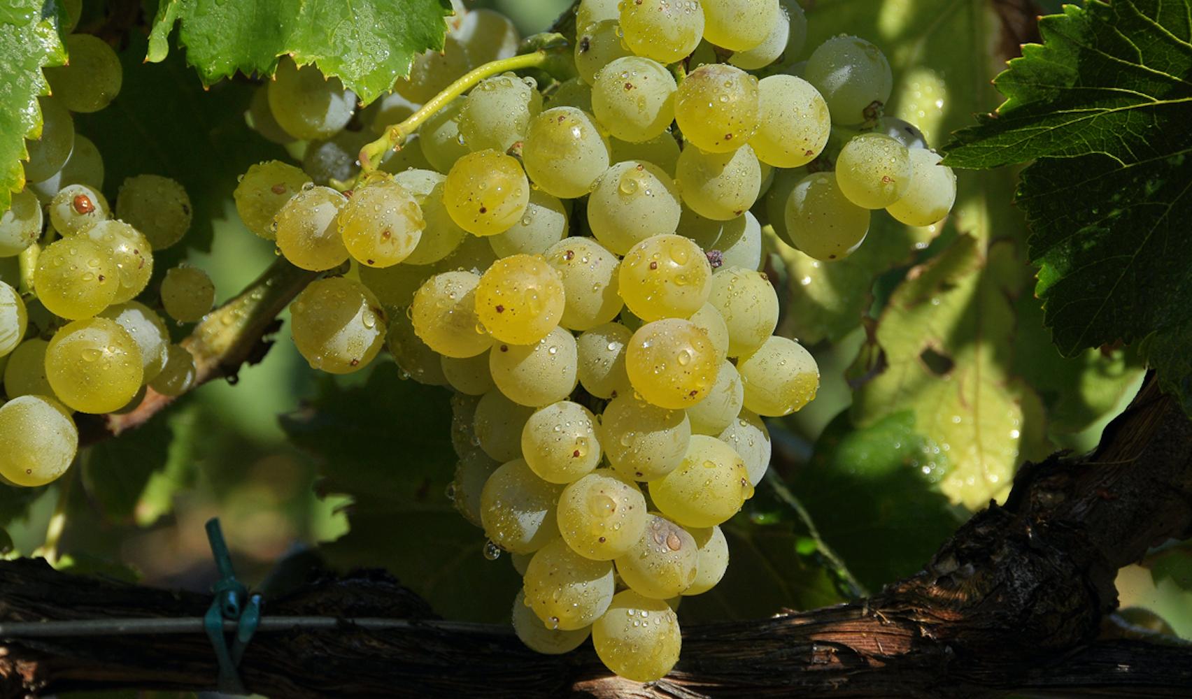 Гарнача (гренаш, garnacha, grenache) - сорт винограда, вино испания