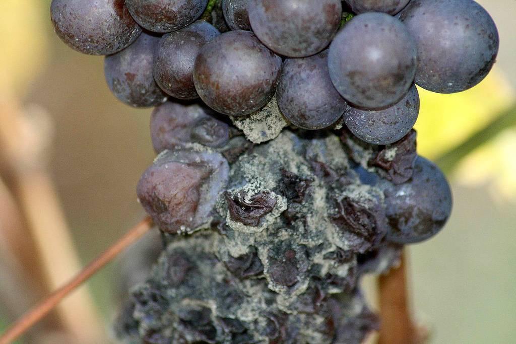 Если домашнее вино покрылось плесенью, как вылечить это вино?
