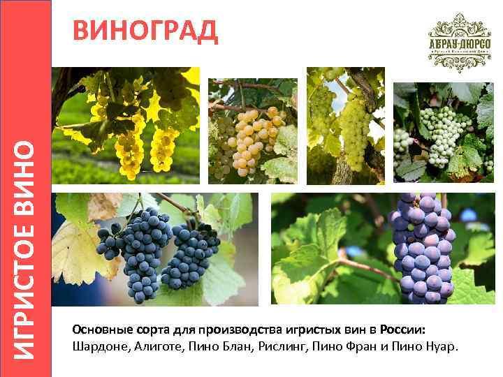 Виноград шардоне: описание сорта, фото, характеристики, болезни