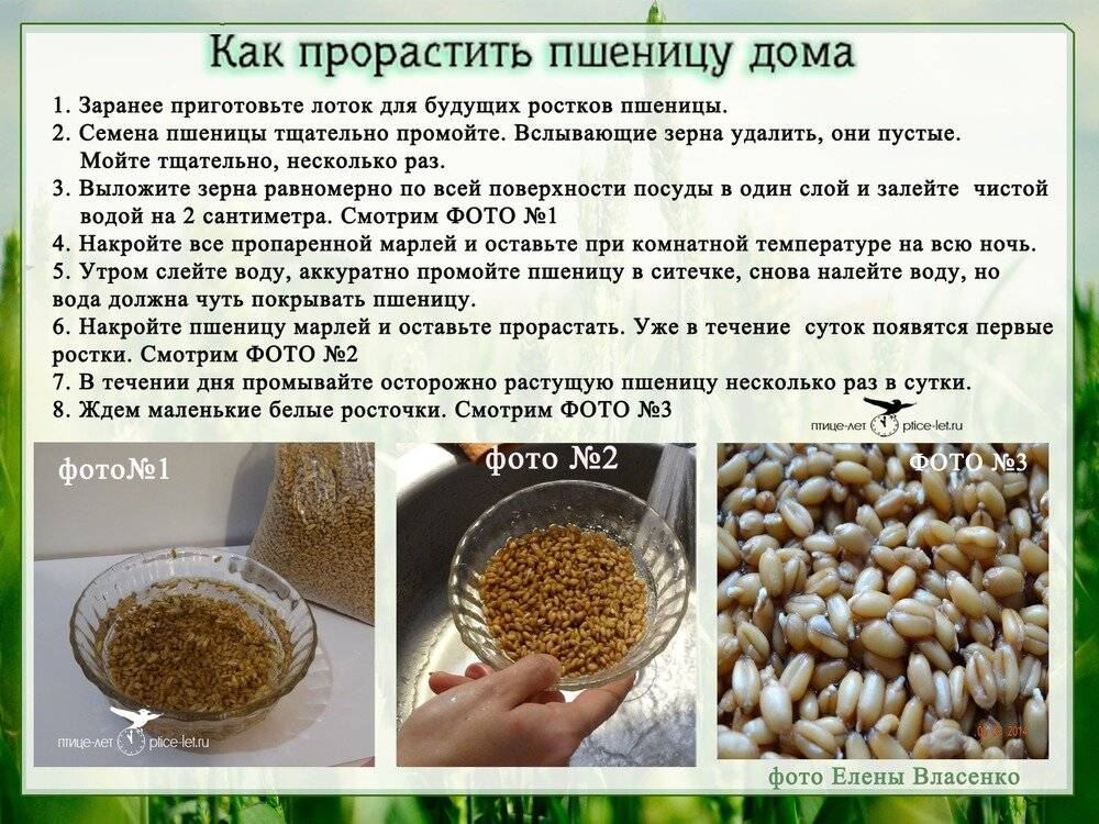 Как проращивать пшеницу дома, самая подробная инструкция