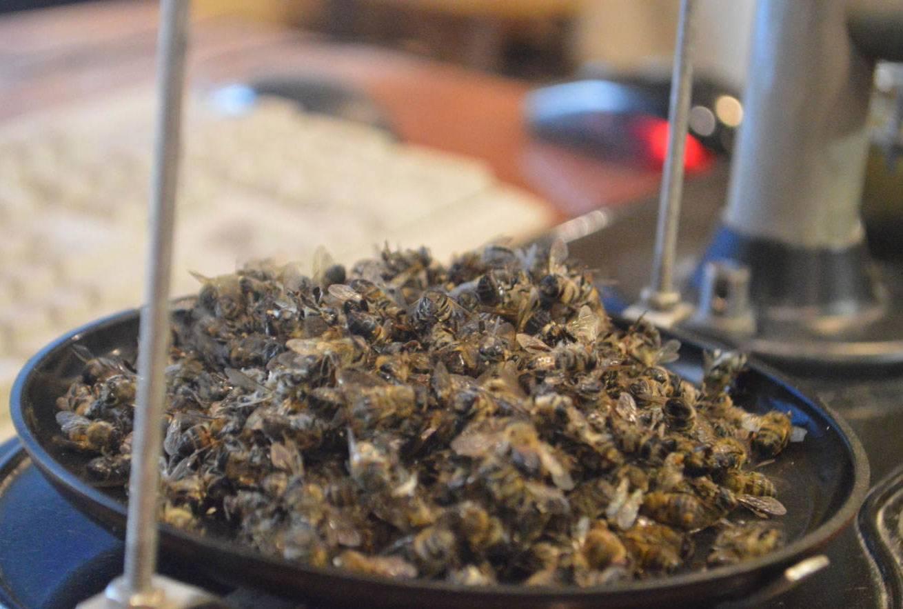 Пчелиный подмор: польза и вред, как принимать, лечебные свойства