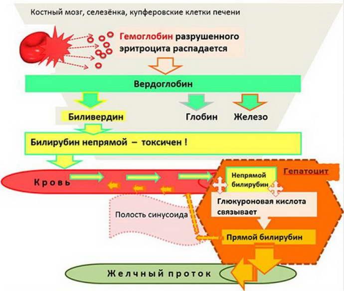 Показатели крови при циррозе печени