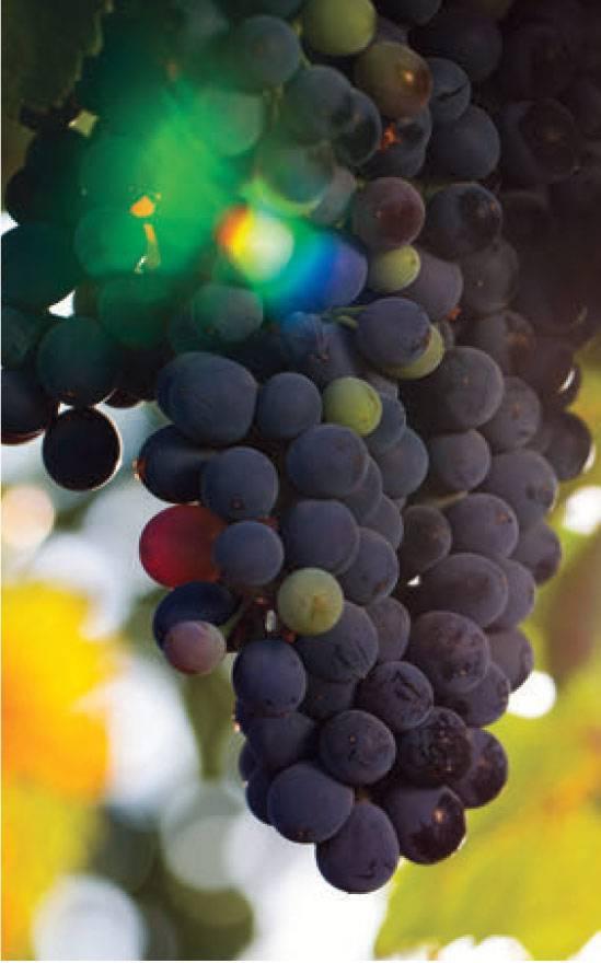 Сорта винограда на н, о