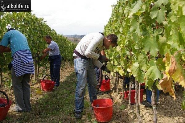 Ркацители — популярное белое грузинское вино