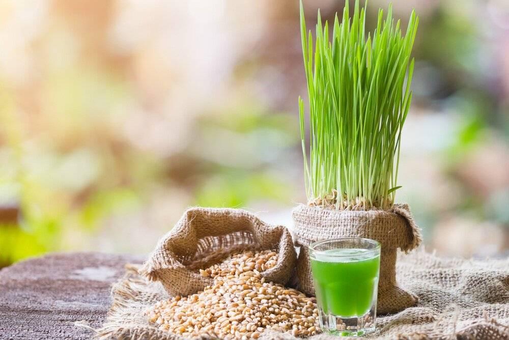 Как вырастить пшеницу в домашних условиях. выращивание ростков пшеницы дома