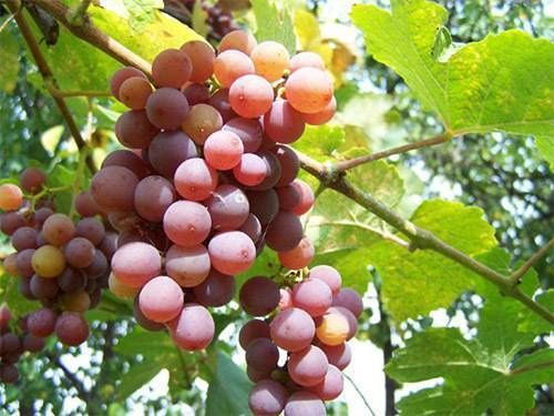 Винные сорта винограда: лучшие сорта с описанием и фото