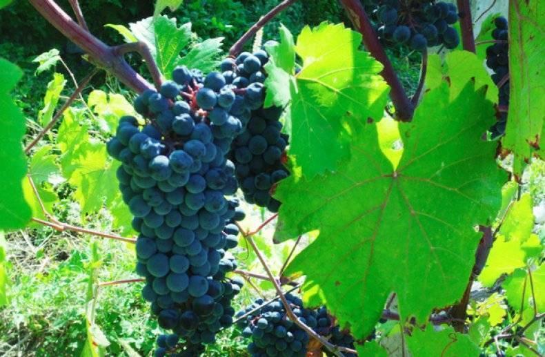 Автохтонные сорта винограда это