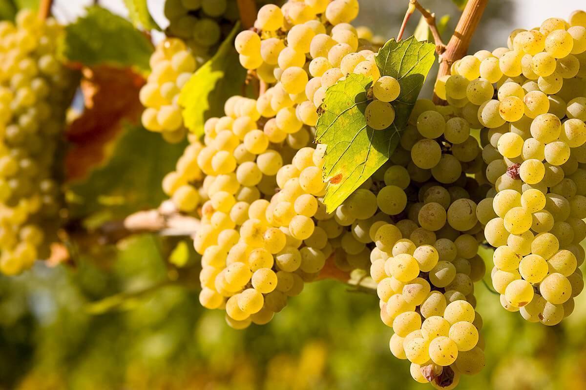 Виноград шардоне (chardonnay) содержание полезных веществ, польза и вред, свойства