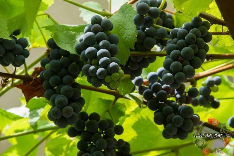 """Виноград изабелла: описание сорта, фото и отзывы садоводов - журнал """"совхозик"""""""