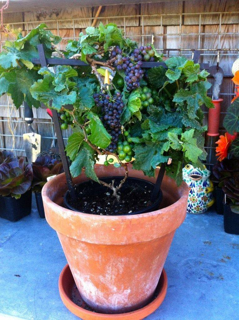 Как вырастить виноград в домашних условиях: способы посадки в квартире, лучшие сорта, уход за растением в горшке дома