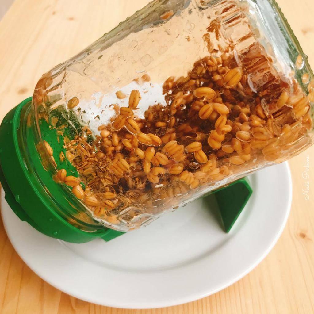 Пшеница в домашних условиях: инструкции по проращиванию