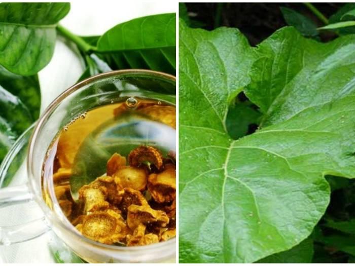 Чем полезен корень лопуха – применение, лечебные свойства и противопоказания