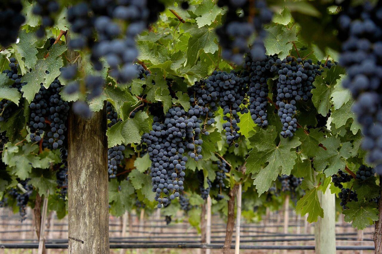 Словарь сортов винограда, сорта винограда | все про вино