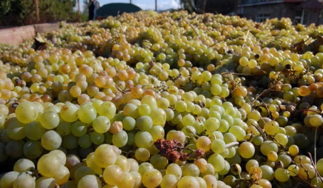 Технические сорта винограда — что это?