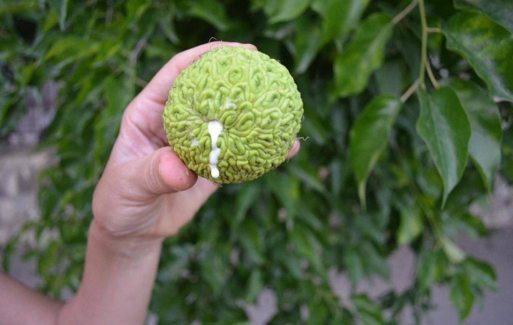 Адамово яблоко – лечебные свойства маклюры и 3 эффективных рецепта применения