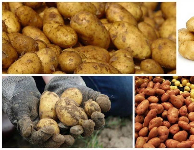 Самогон из картошки – рецепт браги и технология перегонки