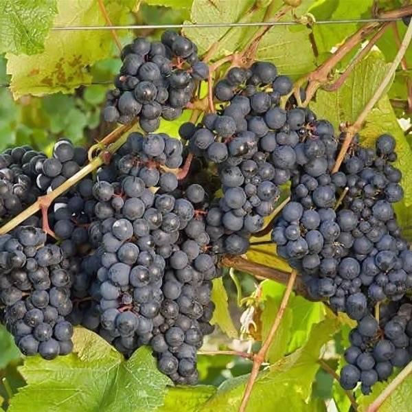 Лучшие винные сорта белого винограда, фото