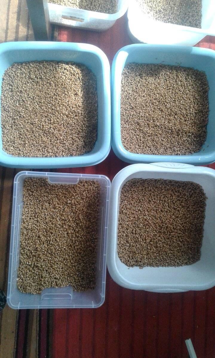 Как правильно прорастить зерно пшеницы для браги