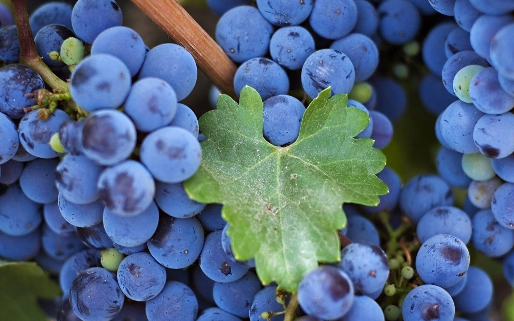 Виноград изабелла – описание сорта с фото; его польза и вред для организма