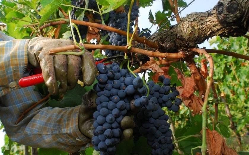 18 популярных сортов винограда для вина в россии
