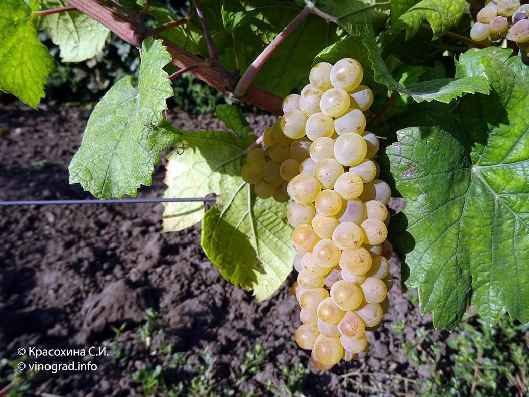 Сорт винограда шардоне: краткое описание качеств, технические показатели