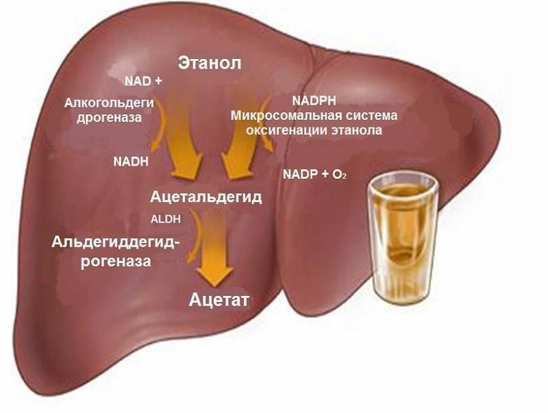 Алкогольный гепатоз — нарушение работы печени из-за высоких дох спиртного