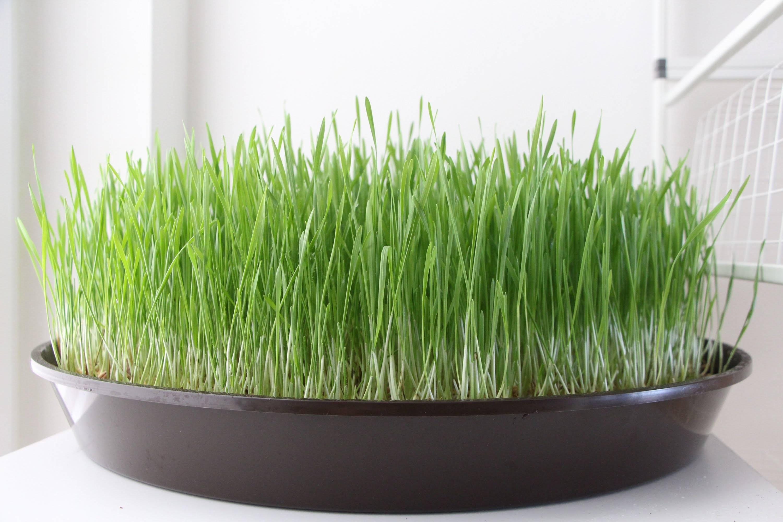 Как вырастить пшеницу самому