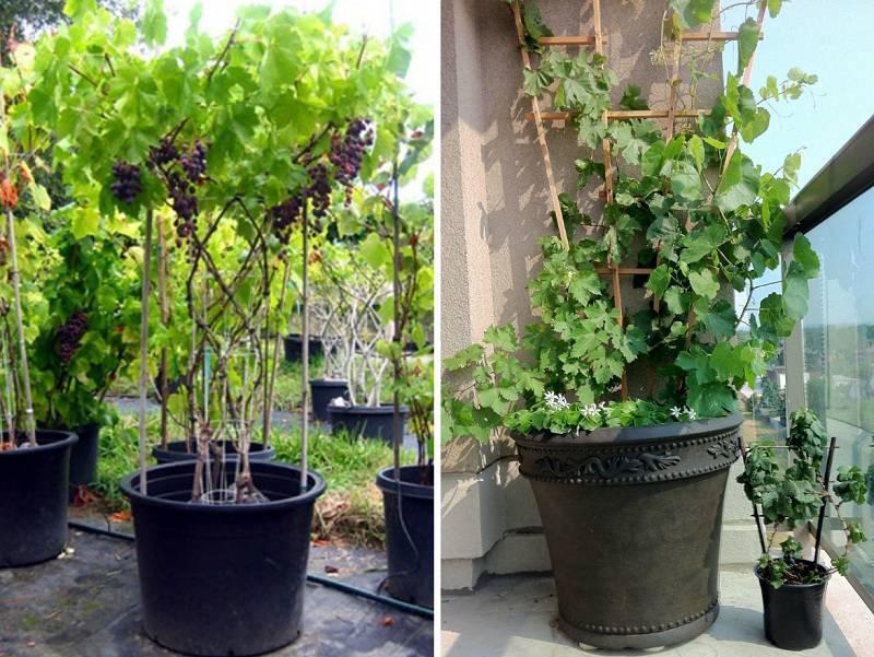 Как вырастить виноград в домашних условиях