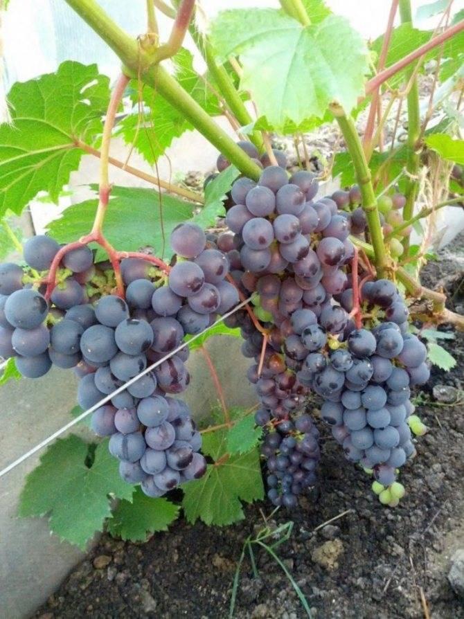 Сорта винограда для средней полосы россии. полный каталог с фото