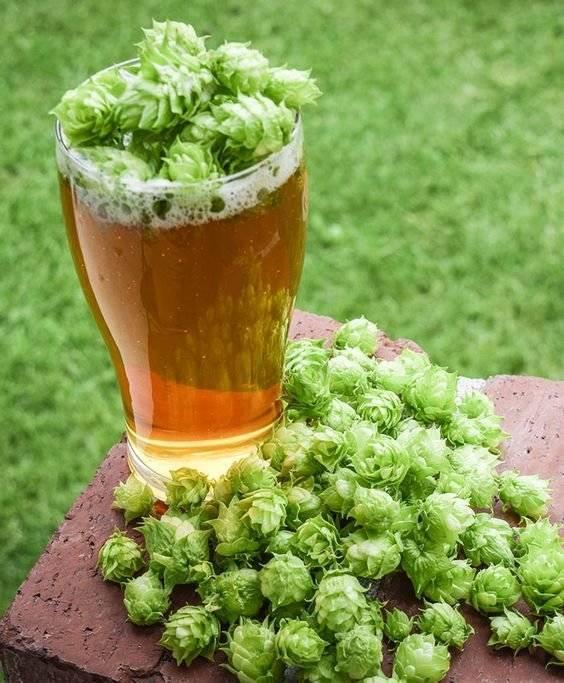 Пиво из хмеля в домашних условиях: простые рецепты, как сделать самостоятельно, видео