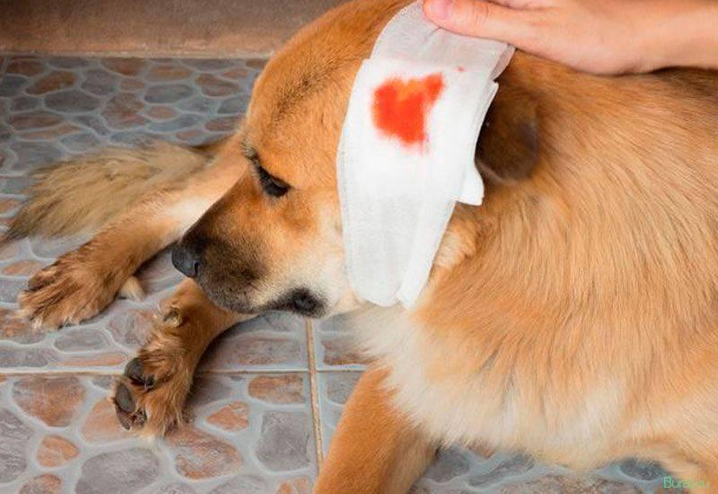 Рвота с кровью у собаки – тревожные симптомы