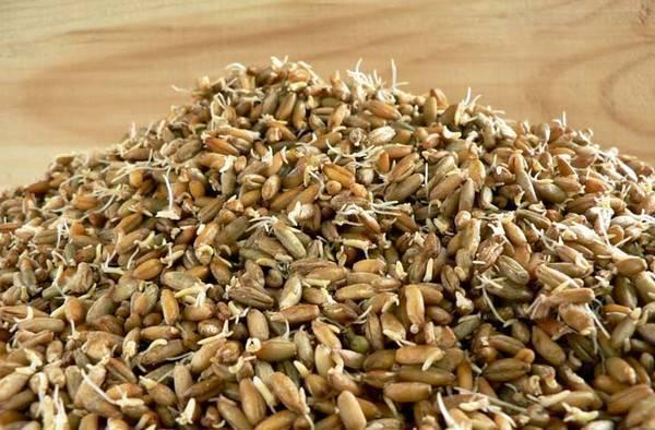 Как сделать солод в домашних условиях из ячменя и пшеницы, что это такое и как приготовить своими руками