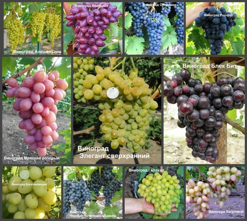 Выбираем лучший виноград для своего сада