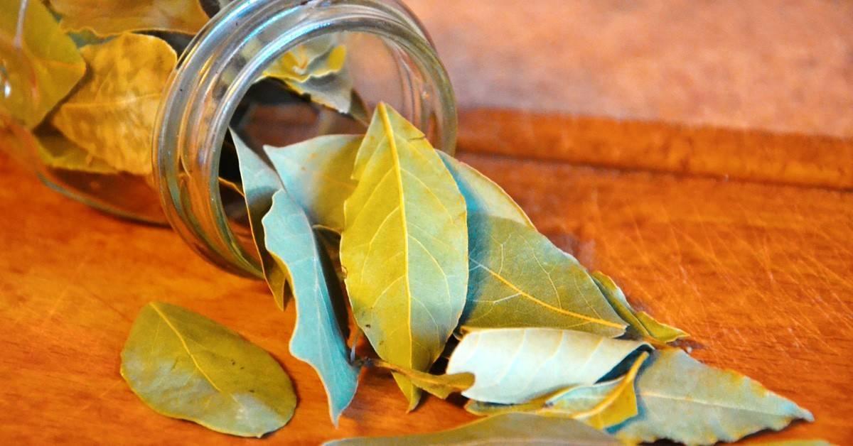 Лавровый лист от кашля: как правильно использовать пряность