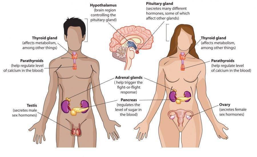Какие гормоны вырабатываются во время секса