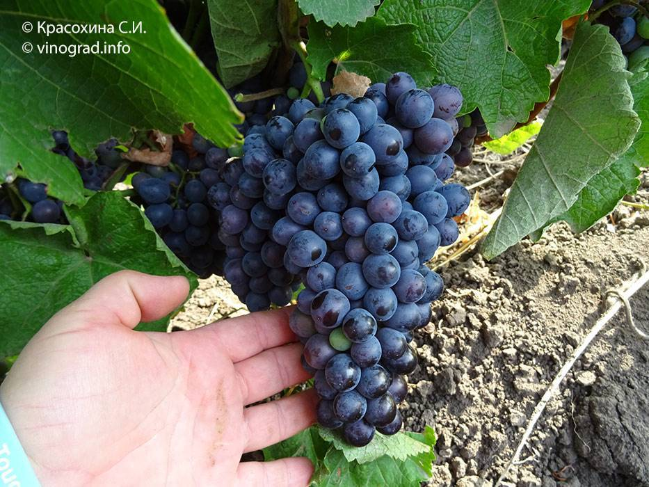 Какие сорта винограда можно посадить для изготовления вина
