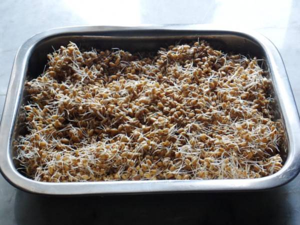 Два рецепта осахаривания солода для браги на самогон в домашних условиях