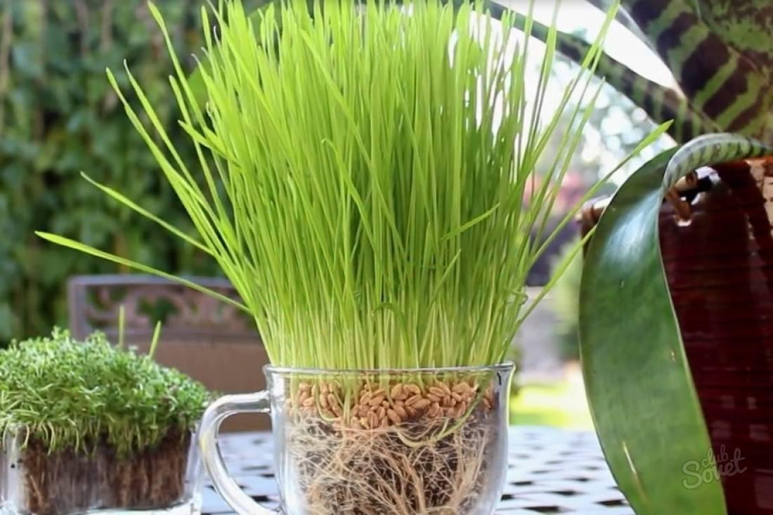 Выращивание пшеницы в домашних условиях и как бизнес: посев и технология возделывания, сколько колосков вырастет из одного зерна