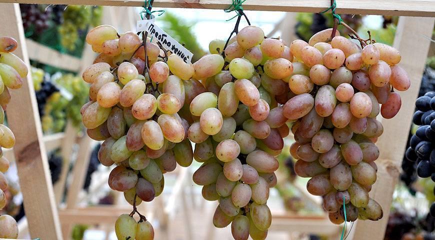 Топ-7 лучших укрывных сортов винограда для средней полосы россии