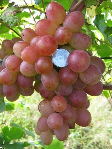 Виноград изабелла: описание сорта, польза и вред