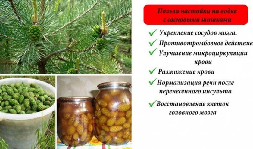 Настойка на водке с сосновыми шишками: лечебные свойства, противопоказания и как принимать?