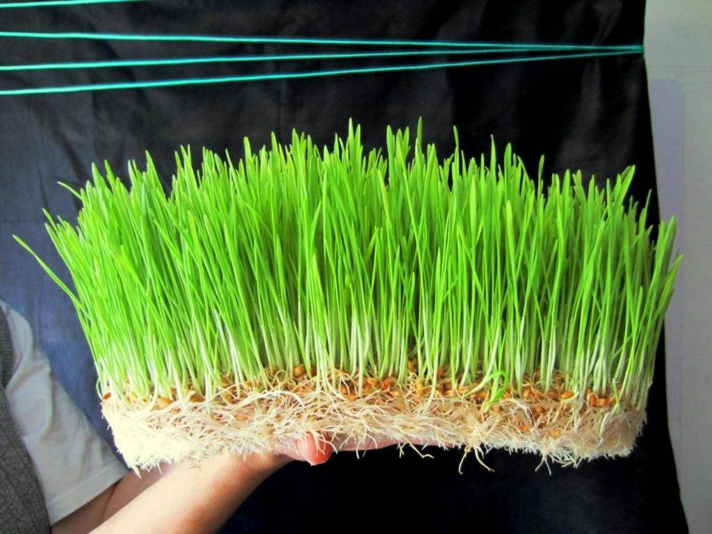 Как правильно прорастить пшеницу в домашних условиях: для еды, для лечения, как выбрать семена