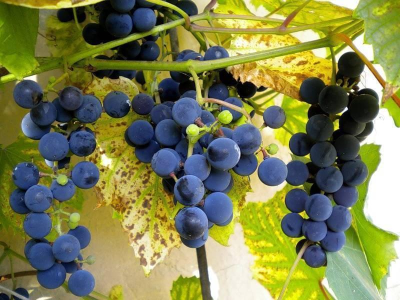 Виноград изабелла: описание сорта, фото, отзывы ? все о посадке и выращивании