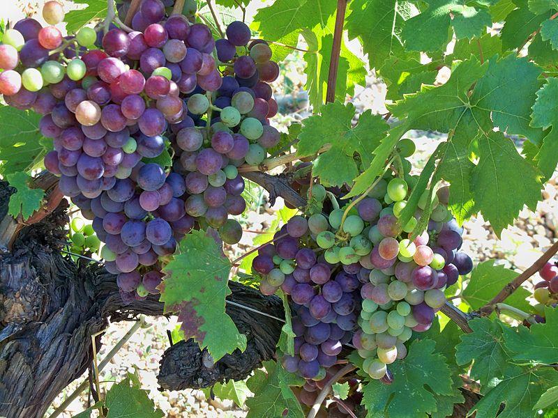Темпранильо: знакомство с сортом винограда - такое вино