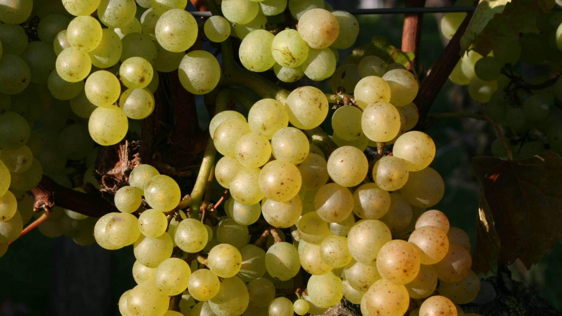 В севастополе хотят производить вино из автохтонного греческого винограда | новости крыма