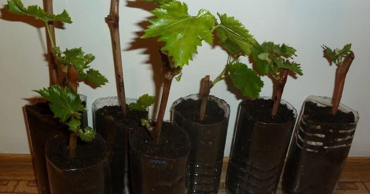 Как вырастить виноград дома в горшке на ладжии