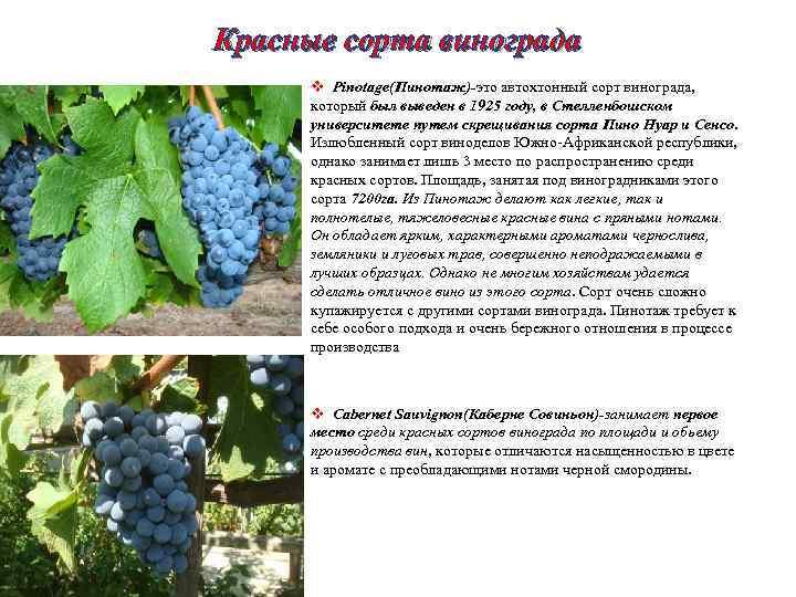 Сорта винограда ?: характеристика ранних, поздних, технических сортов винограда. отличительные признаки, советы в выборе и применении