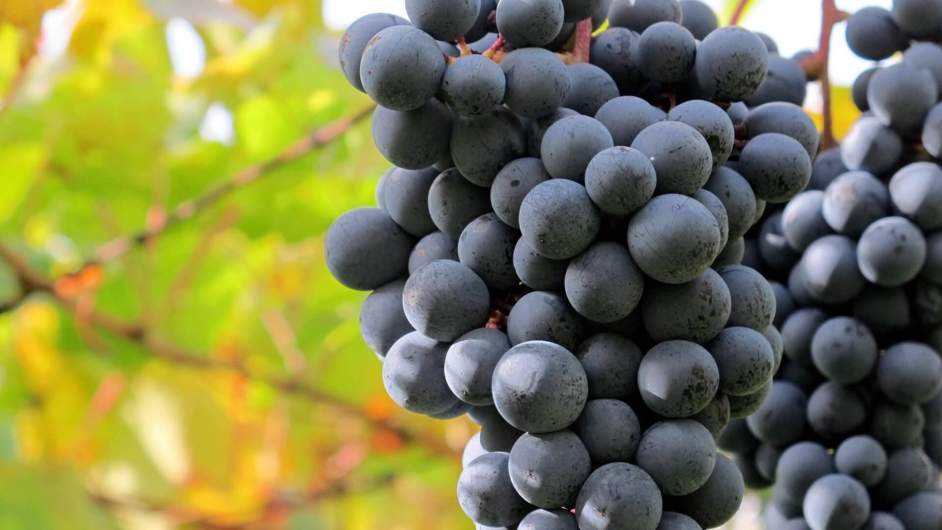 Сира, оно же шираз. как «звучит» в бокале вино из разных стран